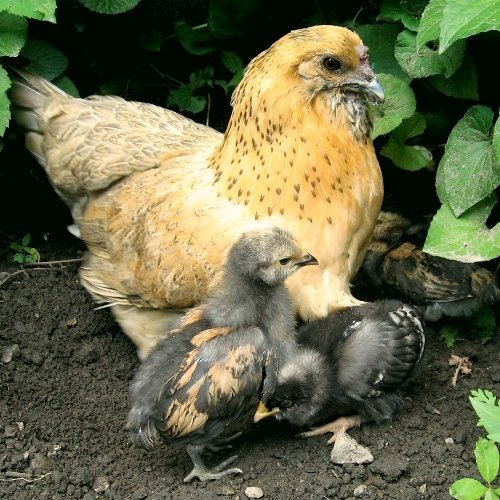 The Big 3: Combat Common Diseases with Backyard Chicken Keeping