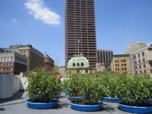 urban agriculture in kiddie pools on the roof of b.good in downtown Boston