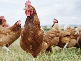 Picking Your Pets: The Best Chicken Breeds