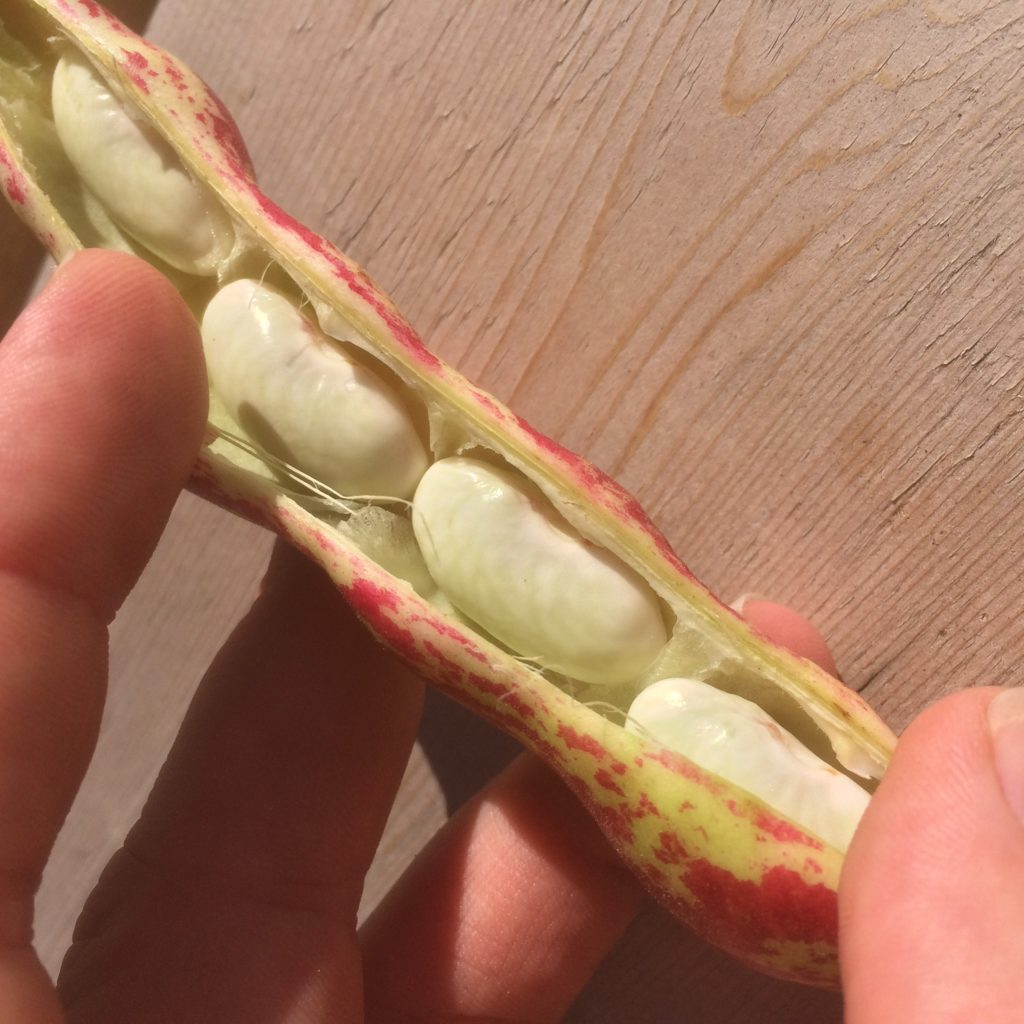 heirloom beans in hand