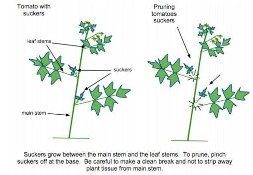 Suckers Diagram Green City Growers
